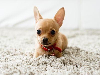 Little Dog Sitting on Carpet